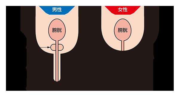男性と女性の尿道の比較