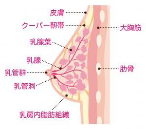 乳腺と脂肪