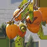柿渋エキス・柿タンニン